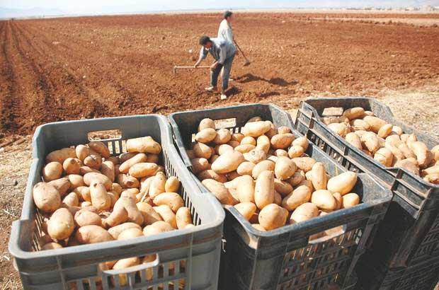 semence de pomme de terre