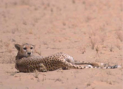 Le guépard saharien réapparu dans l'Ahaggar (Tamanrasset)