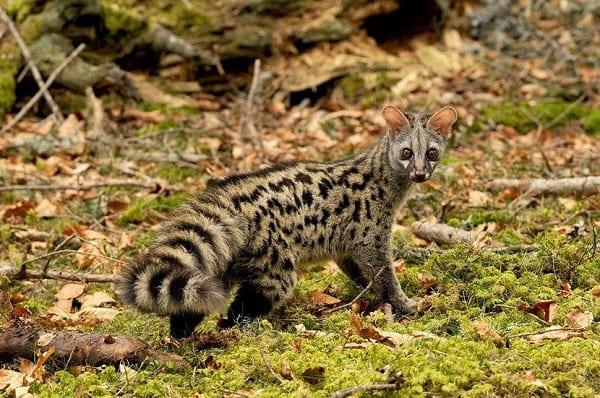 Menacée de disparition: découverte de la genette à la forêt de Boutlélis (Oran)